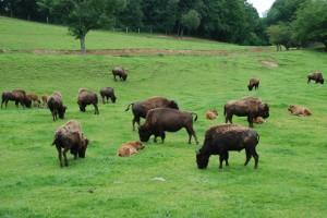 Des bisons, des bisons !