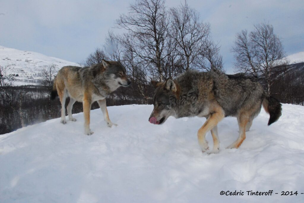 loups 5