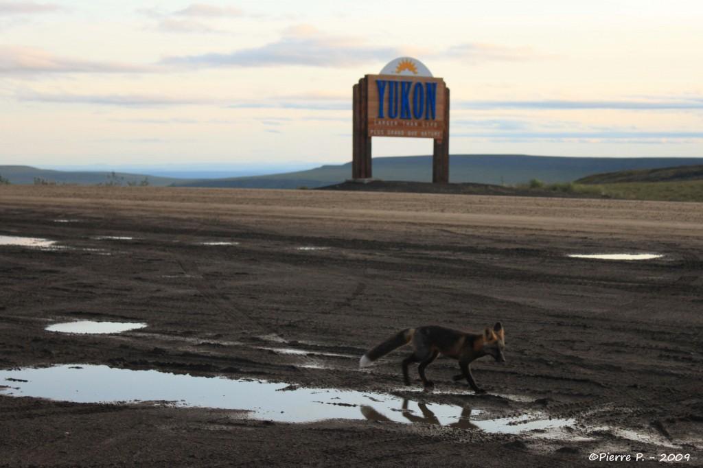 Un renard au Yukon