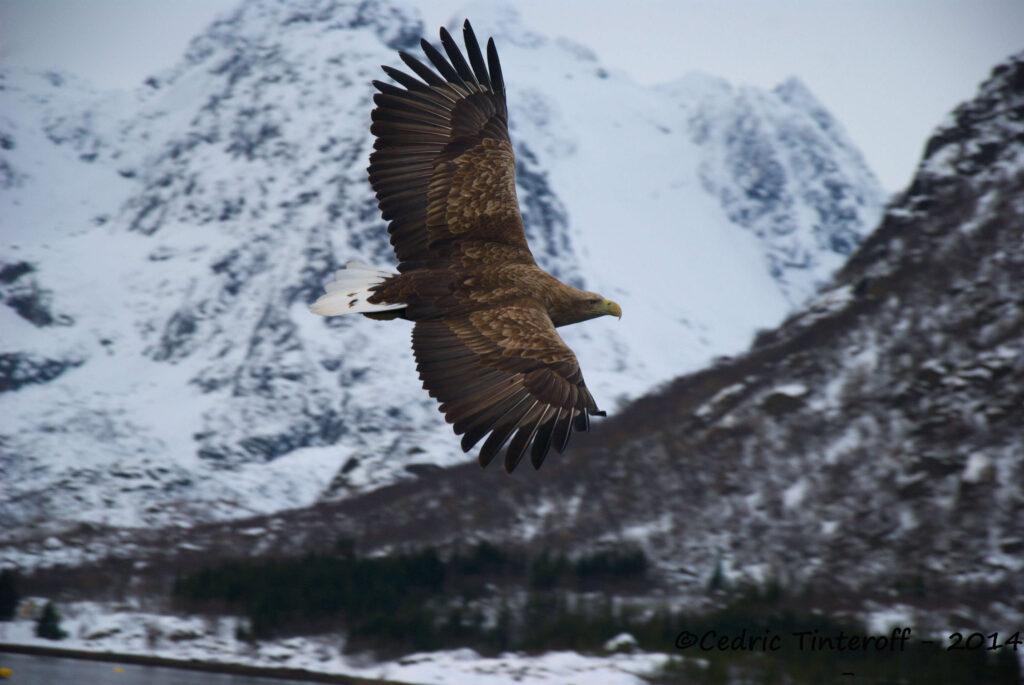 Aigle Lofoten