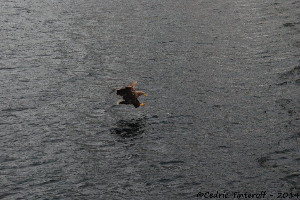 Aigle pêchant aux Lofoten