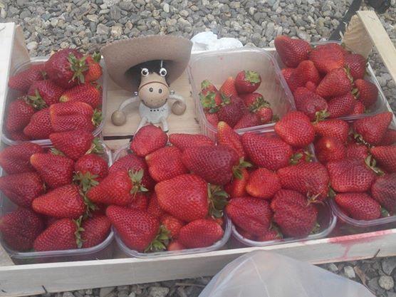 Les fraises de Sicile (et Barnabé)