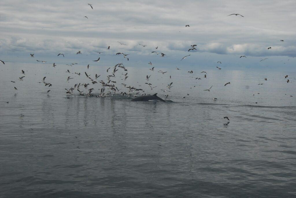 Les baleines de Reykjavik