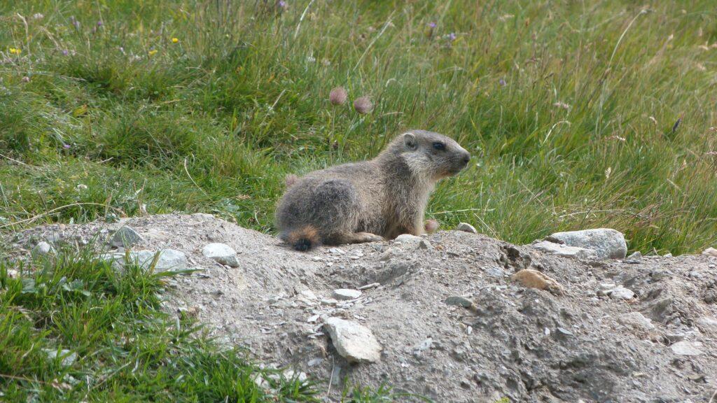 Marmotte (trop mignonne)