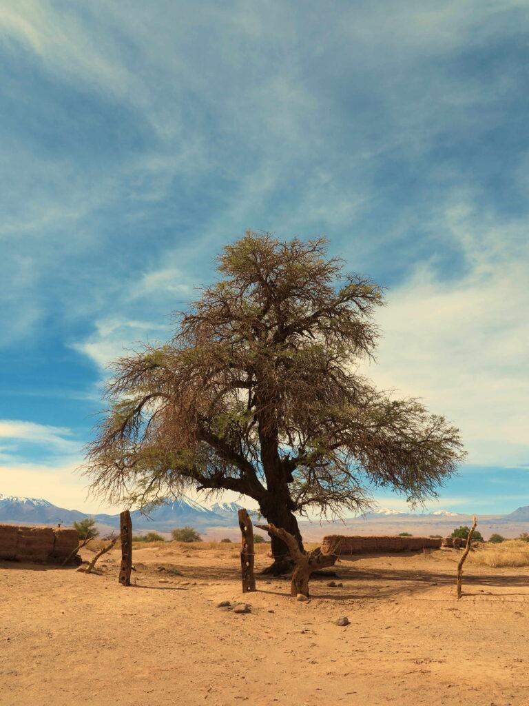 arbre chili