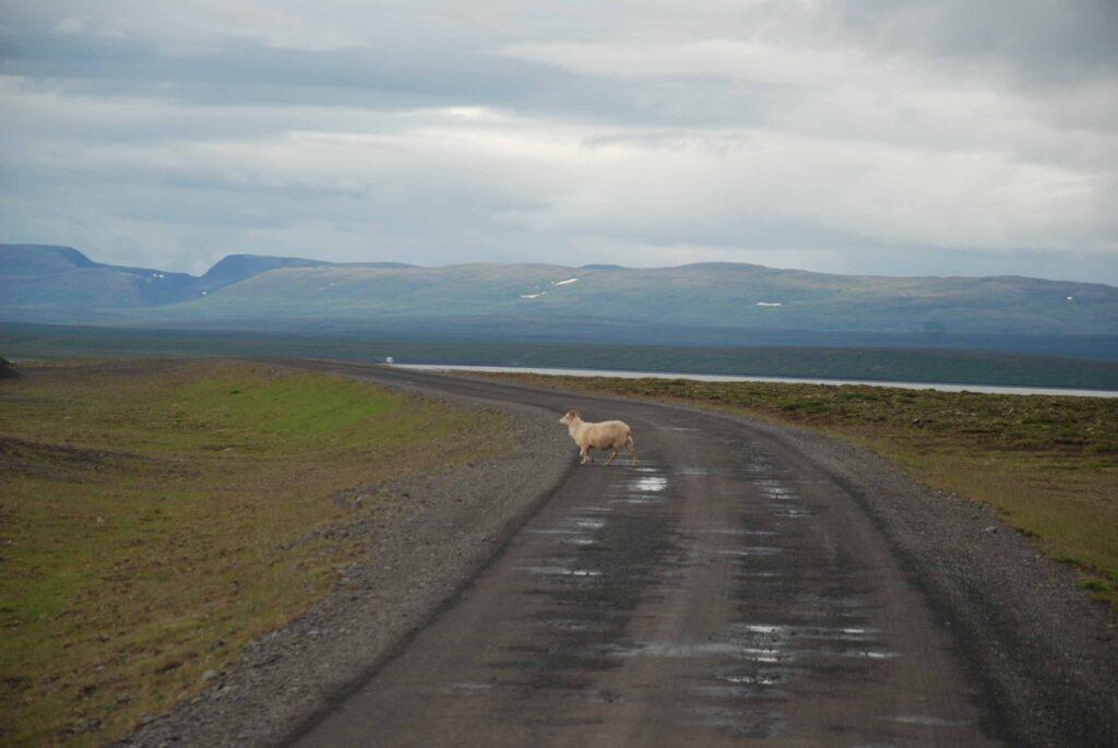 Un mouton sur la F35