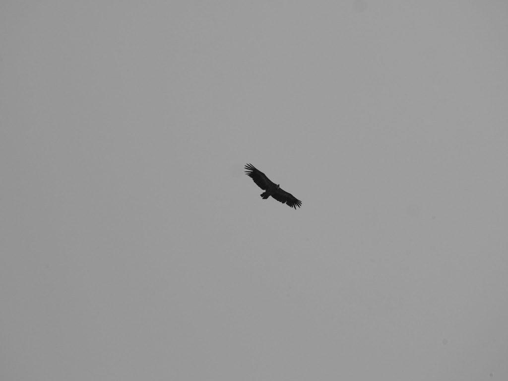 Le vautour d'Urrugne
