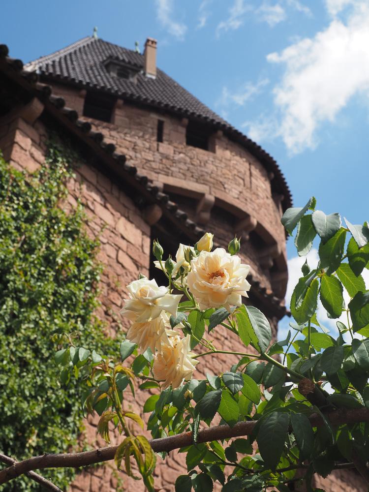 Une rose au Château du Haut Koenigsbourg