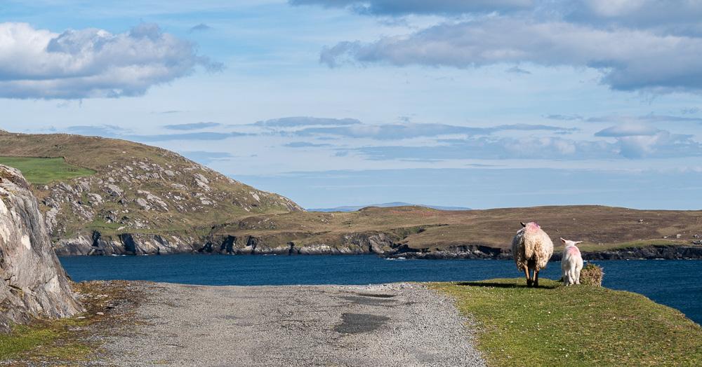 Des moutons sur la route à Dursey Island