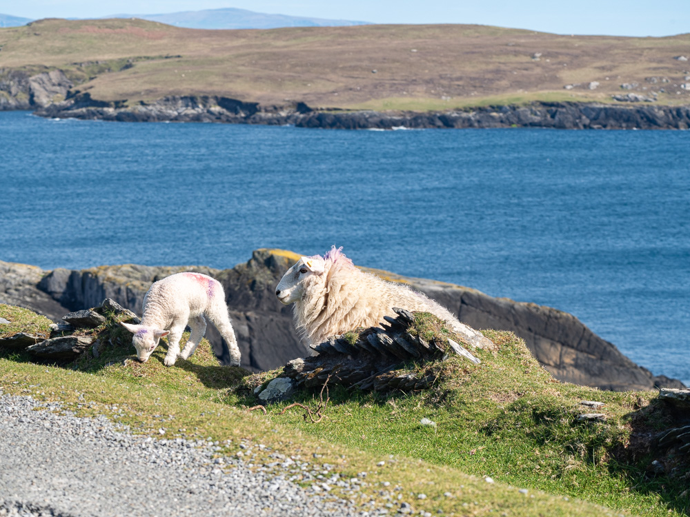 Les moutons de Dursey Island
