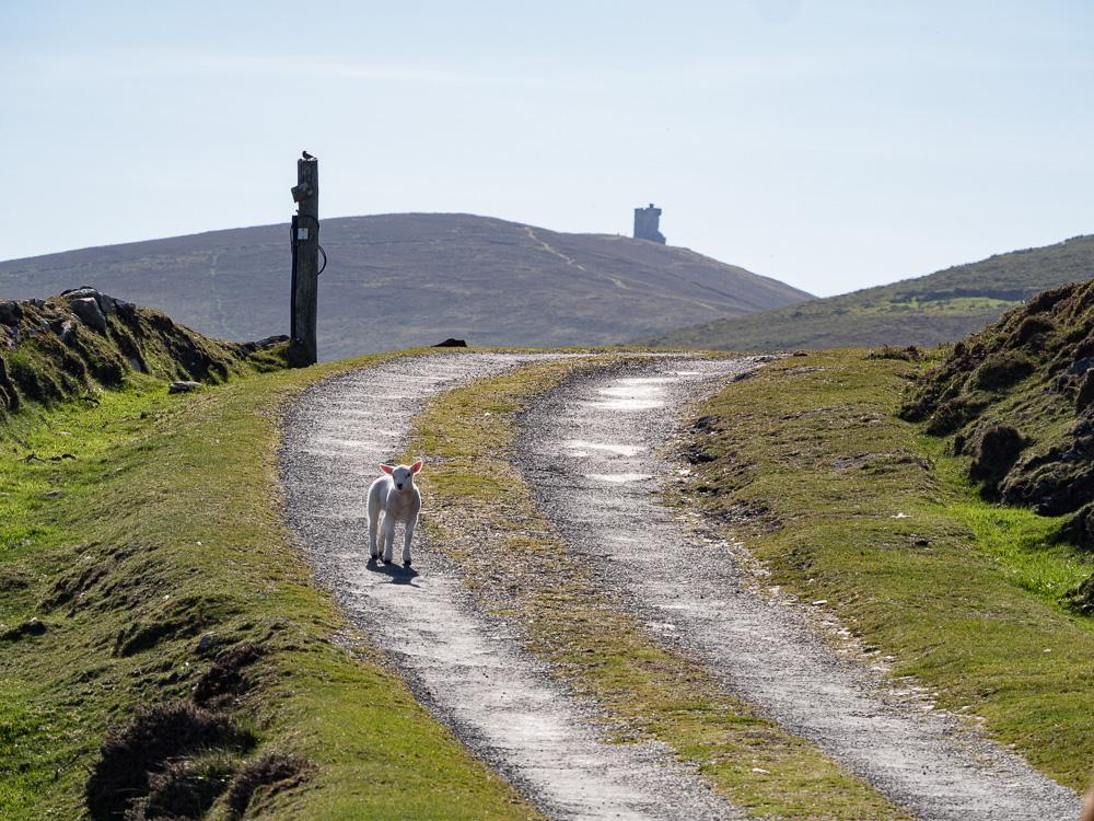 Un agneau solitaire à Dursey