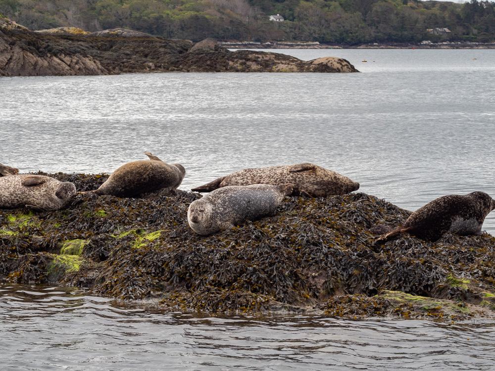 Les phoques communs de la baie de Bantry