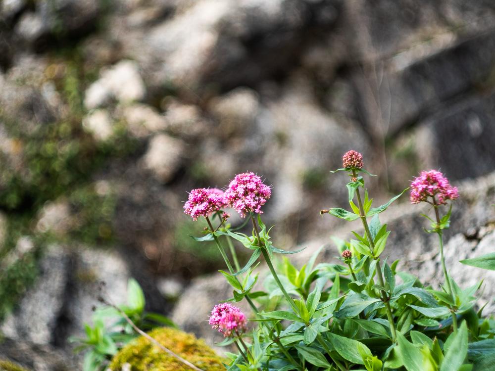 Les fleurs de Coucy